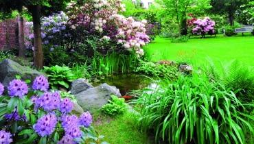 """Rododendron """"Blue Peter"""" - na pierwszym planie, za oczkiem wodnym - """"Calsap"""" i """"Lachsgold""""."""