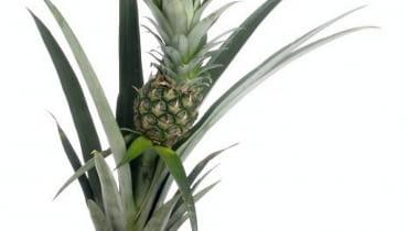Ananas w doniczce.