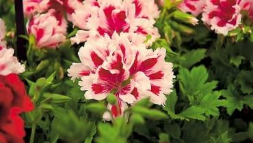 Pelargonia wielkokwiatowa. Szeroko rozpościera pędy, dorastając do 60-80 cm. Kwiaty są jedno- lub dwubarwne, białe, różowe, czerwone