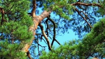 Zdrowa sosna ma ceglastą bądź jasnobrązową łuszczącą się korę. Wyciek żywicy może świadczyć o ataku korników - na korze widoczne są też liczne otworki. Jeśli ich nie ma, winowajcą jest chorobotwórczy grzyb.