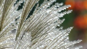 Miskant chiński (Miscanthus sinensis) 'Silberfeder'
