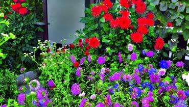 Astry tradycyjnie uprawia się w wielobarwnym łanie, łącząc je z innymi kwiatami późnego lata.