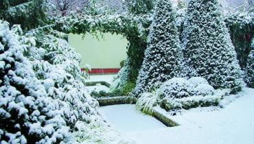 Śnieg otula zimozielone drzewa i krzewy, chroniąc je przed mrozem. Jednak czasem biegam z miotłą i jego czapy delikatnie strząsam, by rośliny pod ich ciężarem nie rozłamały się lub nie odkształciły.