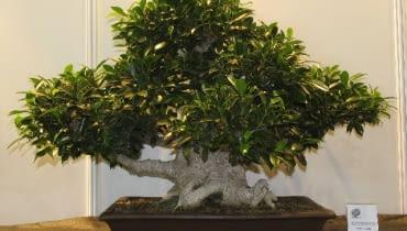 Bonsai figowiec