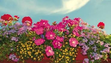 Różowe petunie, czerwone pelargonie, żółta polegnatka i liliowe werbeny