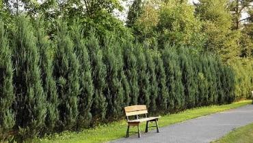 Żywopłot z jałowca skalnego 'Skyrocket' (Juniperus scopulorum)