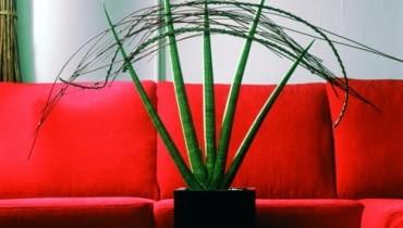 Kwiaty doniczkowe dla zapracowanych - Sansewieria (Sansevieria)