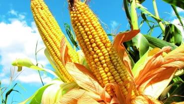 Konsumpcyjne odmiany kukurydzy zbieramy, gdy ziarno jest jeszcze miękkie. Ich kolby także są bardzo dekoracyjne.