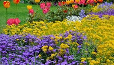 Wiosenna rabata z tulipanami, żagwinem i smagliczką. Kwiaty pzrekwitną, tulipany zostaną wykopane, a zielony dywan z żagwinu i smagliczki nadal będzie zdobić ogród.
