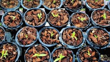 Nawet młode siewki uprawia się w specjalnym podłożu dla storczyków. Każdy okaz sadzimy w osobnej doniczce z otworami w dnie i starannie pielęgnujemy.