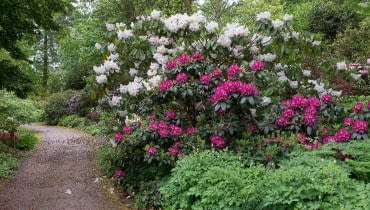 Wiosenna wizytówka wisley - ścieżka pośród olbrzymich różaneczników z grupy Loderi.
