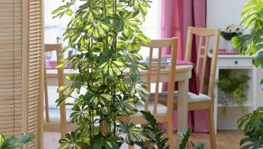 Schefflera arboricola 'Gold Capella' in large white pot with Zamioculcas - Zanzibar Gem SLOWA KLUCZOWE: houseplants house plants indoors containers pots groups dining room cans metal foliage leaves Architectural