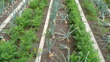 Na tym zagonie uprawia się równolegle cebule i marchew. Cebula chroni marchwekę przed szkodnikiem - połyśnicą marchwianką.