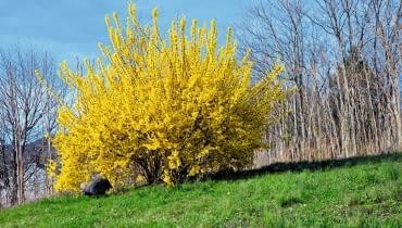 FORSYCJA jest niezawodna w kwitnieniu. Aby było ono obfite, trzeba najpóźniej w maju skracać jej gałęzie.