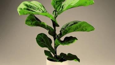 Fikus lirolistny - preparatem nabłyszczającym opryskujemy tylko górną powierzchnię liści