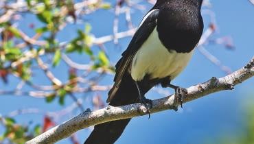 SROKA ZWYCZAJNA to ptak piękny, ale hałaśliwy i niezbyt lubiany.