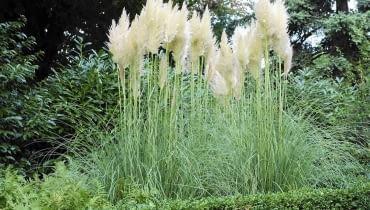 Kortaderia (zwana trawą pampasową) kwitnie jesienią i jest wówczas gwiazdą ogrodów. Ale liście też ma urokliwe