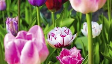 Kwiaty cebulowe. Cebulki wykopywane po kwitnieniu są zdrowsze i silniejsze