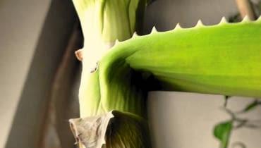 Aloes traci liście - najprawdopodobniej podłoże jest za bardzo ścisłe i za długo utrzymuje wilgoć