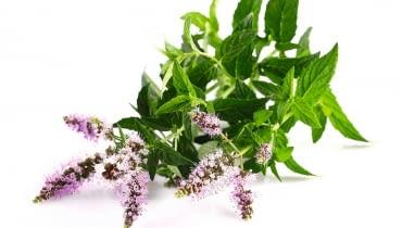 Kwiaty mięty (tytaj mięty pieprzowej) tworzą wierzchołkowe kłosy lub skupione są piętrowo w okółkach pomiędzy parami liści.