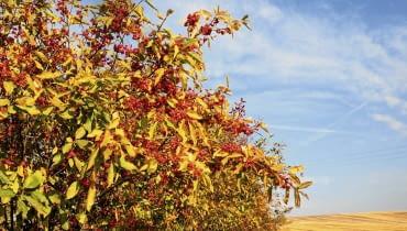 1. Trzmielina pospolita (Euonymus europaeus) Krzew tworzy efektowne różowe owoce z nasionami w pomarańczowej osnówce. a w nich pakiet szkodliwych glikozydów (m.in. ewobiozyd i ewomonozyd). Zatrucie objawia się czasem po kilkunastu godzinach. Występują osłabienie, wymioty, biegunka, dreszcze, nierzadko paraliż, a zjedzenie przez dorosłego człowieka 35 owoców może spowodować zgon. Natomiast ptakom, które je jedzą, toksyny nie szkodzą.