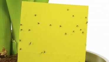 Żółte lepy eliminują sporą część latających form ziemiórek, ale oprócz nich trzeba zastosować też inne sposoby.