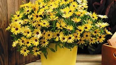 Najwięcej wspaniałych nowych odmian pojawia się zwykle wśród roślin balkonowych. Nic dziwnego. To przecież kwiaty dla tych, którzy lubią częste zmiany i chcą, żeby ich balkon zwracał uwagę i budził zazdrość. <BR />ROŚLINY BALKONOWE. Symphony, osteospermum, rośnie szybko, ładnie się rozkrzewia i kwitnie obficie przez cały sezon.