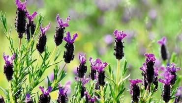 Kwiatostany lawendy francuskiej dorastają do 40-50cm wysokości