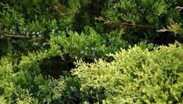 Jałowiec sabiński (Juniperus sabina)