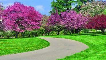 Grupa okazałych jabłoni ozdobnych - poszczególne odmiany kwitną na różowo ipurpurowo.