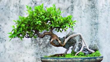 Fikus benjamina uformowany jako drzewko bonsai może łatwo gubić liście
