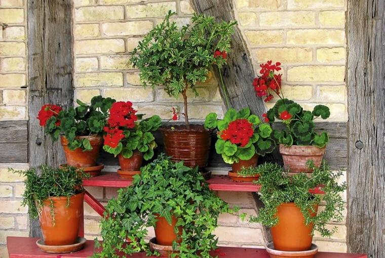 Rośliny na zabudowany balkon. Pelargonie, bluszcz i geranium 'anginka' to zestaw idealny na lekko ocieplany balkon.