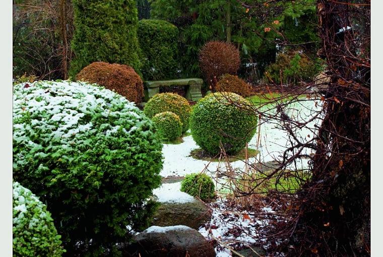 Pierwszy śnieg podkreśla bryły bukszpanów, rozświetla ogród otulony brunatnymi ramami jesiennych krzewów i ciemną zielenią roślin iglastych.