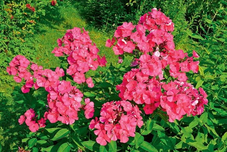 Floks wiechowaty. Phlox paniculata. Floks zdobiący latem rabaty bukietami wonnych kwiatów przyciąga pszczoły, bzygi i motyle (lubi go polski koliber, czyli fruczak gołąbek). Dla nas niegroźny, jest omijany przez ślimaki.