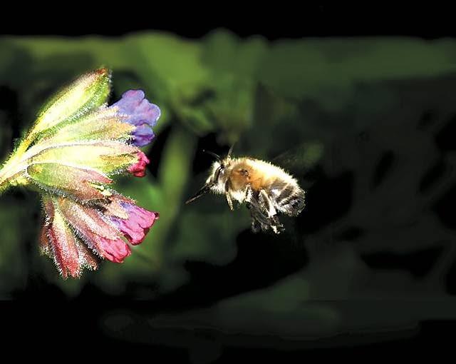 Trzmiel podobnie jak pszczoła zbiera pyłek do ,,koszyczków' na trzeciej parze odnóży