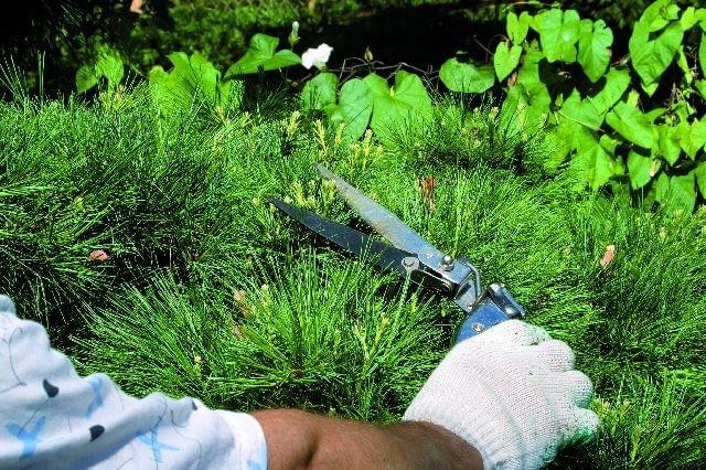 Nożycami o dłuższych ostrzach obcina się kilka pędów naraz, co skraca czas zabiegu