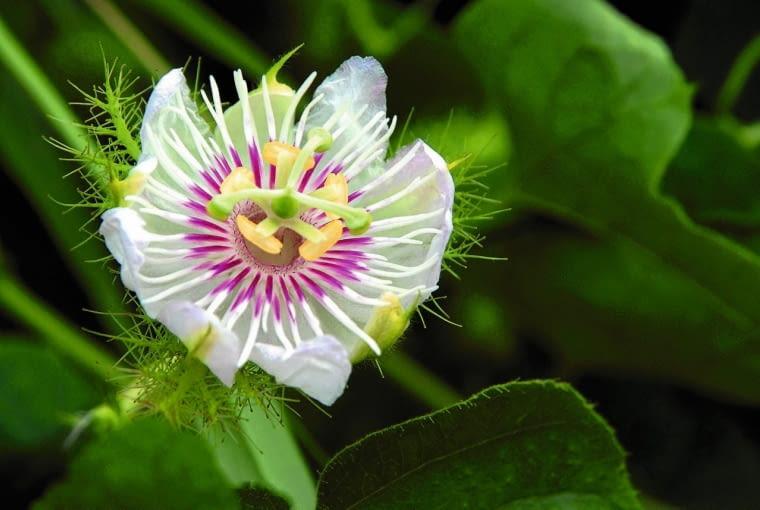 PASSIFLORA FOETIDA jest traktowana jak chwast. Jej uszkodzone liście brzydko pachną.