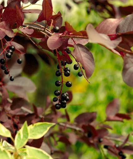 Czeremcha pospolita (Prunus padus) 'Colorata'