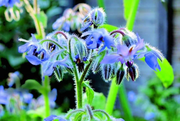 Kwiatostan ogórecznika głąbigroszku szkarłat/Fot.: Maria Meester shutterstock