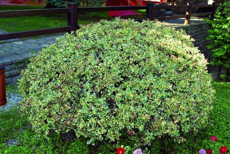 Strzyżony w kulę okaz ostrokrzewu kolczastego sfotografowany w jednym z parków w Bergamo.