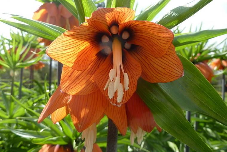 Korona cesarska pomoże nam wygnać z ogrodu nornice