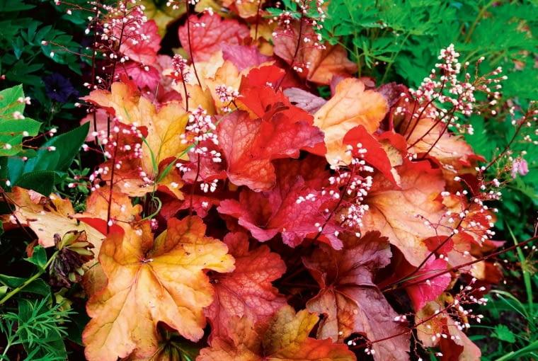 Żurawka. Heuchera 'Coral Bells'. Żurawki - te miłe wdotyku rośliny mają liście tak barwne jak kwiaty. Na szczęście nie podgryzają ich ślimaki.