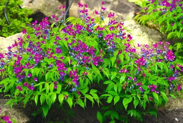 Groszek wiosenny to doskonała roślina do cienistych zakątków. Nie wymaga wiele opieki.