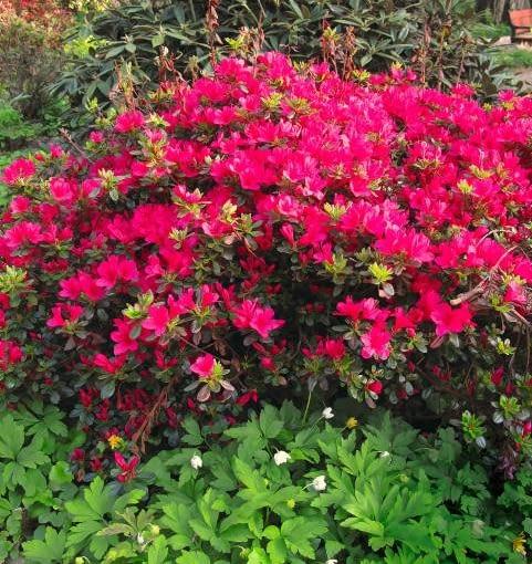 Stara japońska odmiana różanecznika 'Hino Crimson' w ciepłych rejonach kraju kwitnie w pod koniec kwietnia, a w chłodnych - miesiąc później