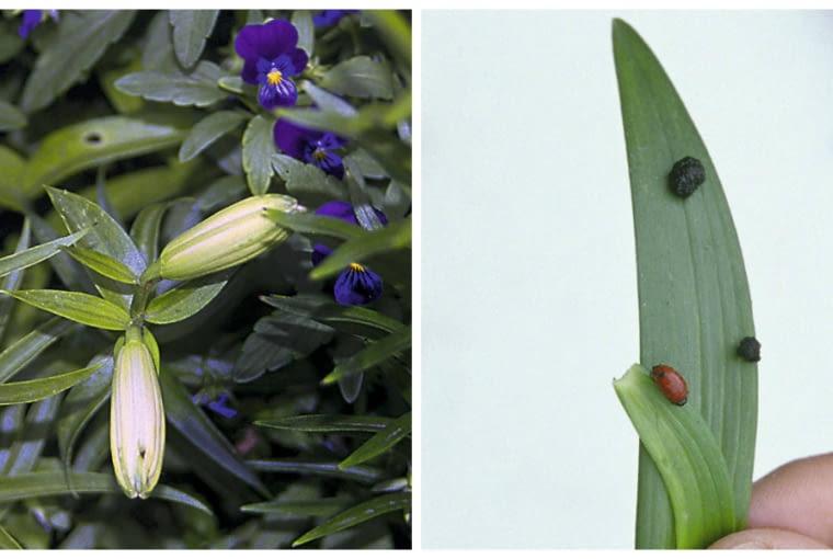 Poskrzypka liliowa