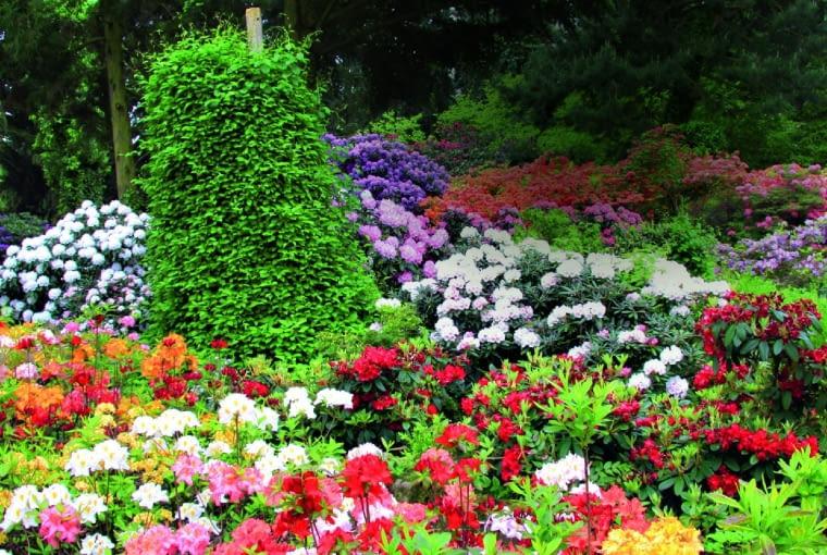"""Azalie i różaneczniki wielkokwiatowe występują w niemal wszystkich barwach tęczy. Pośrodku """"czapa"""" kokornaku wielkolistnego.h>:j1XN"""