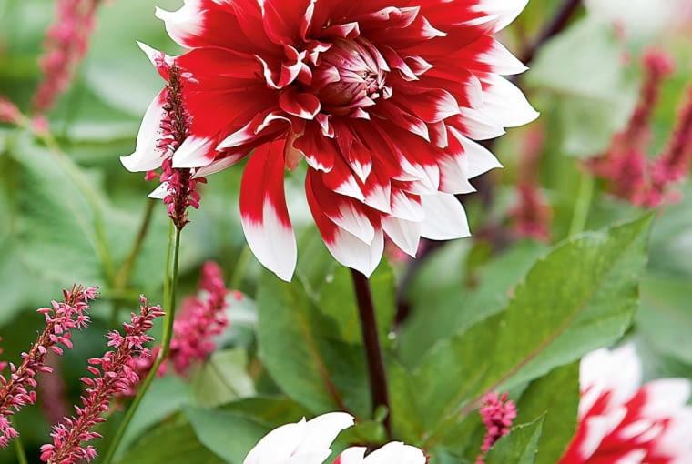 'Mystery Day' - dalia dekoracyjna, wys. 0,8-1 m, śr. 'kwiatu' 25 cm.