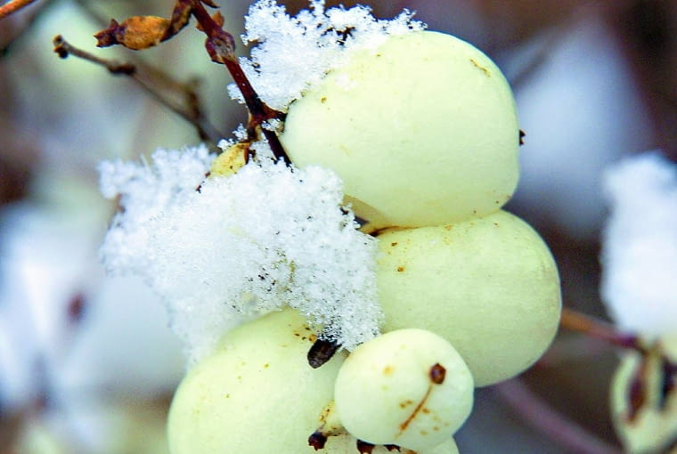 Śnieguliczka biała