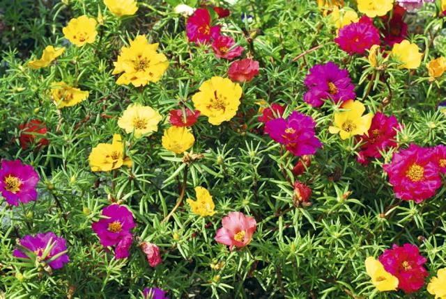 Portulaka (Portulaca grandiflora)