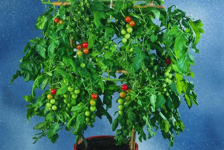 Pomidory podpieramy w taki sposób, by do dojrzewających gron docierało jak najwięcej słońca.